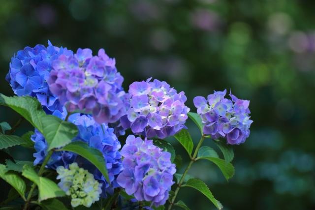 梅雨のアジサイの花の写真